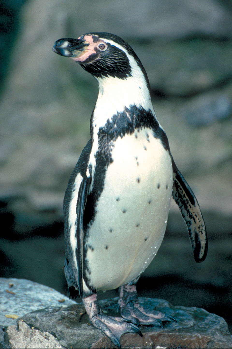 Explore Humboldt Penguin, Penguin Weight, and more!